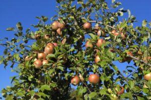 fruit tree apple