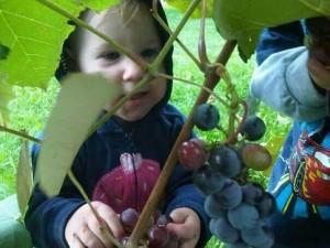 fruit tree grapes