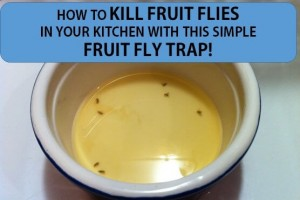 HOW TO KILL FRUIT FLIES IN YOUR KITCHEN WITH A FRUIT FLY TRAP(1)