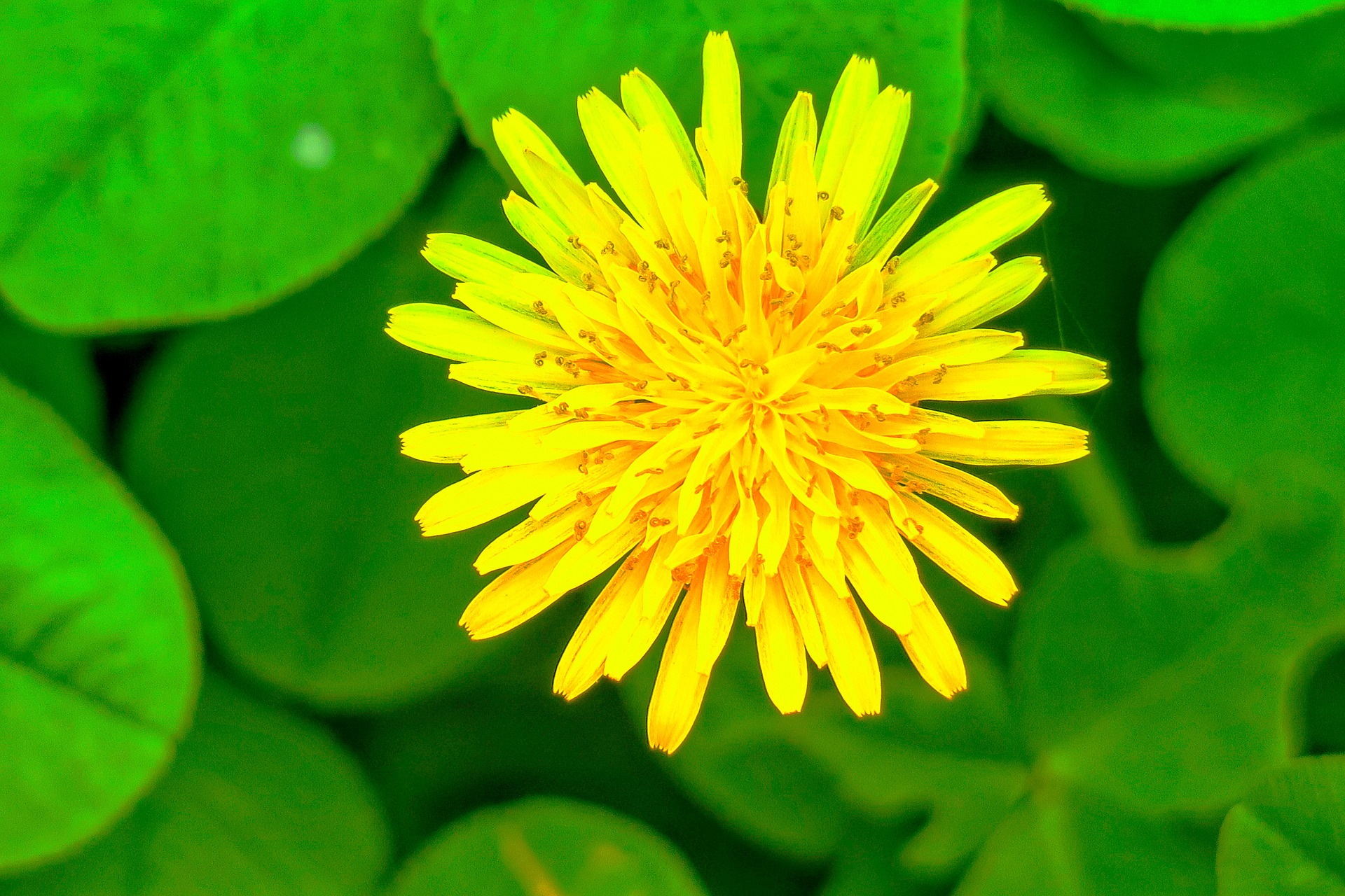 chrysanthemum-flower repels mosquitoes