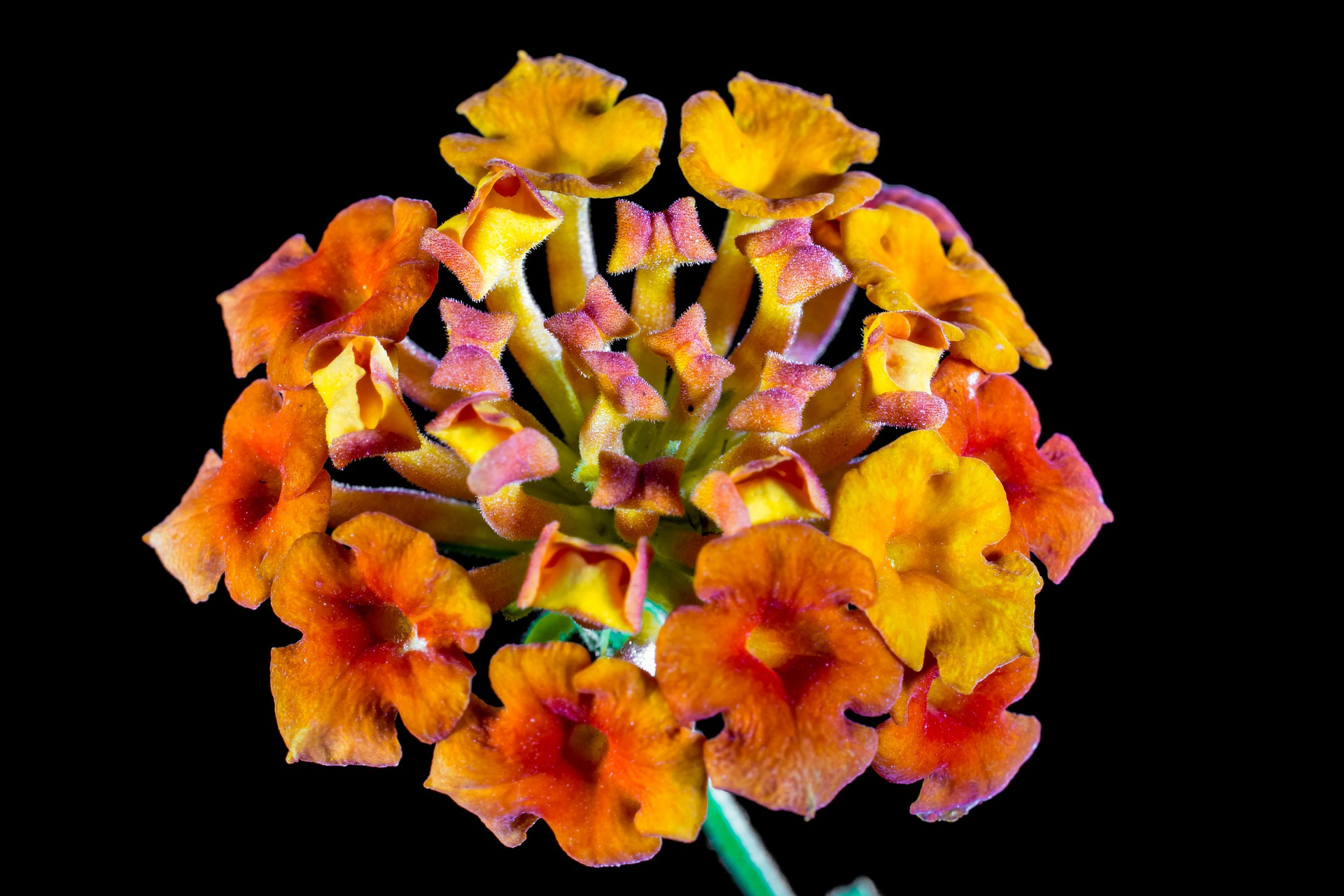 lantana repels mosquitoes