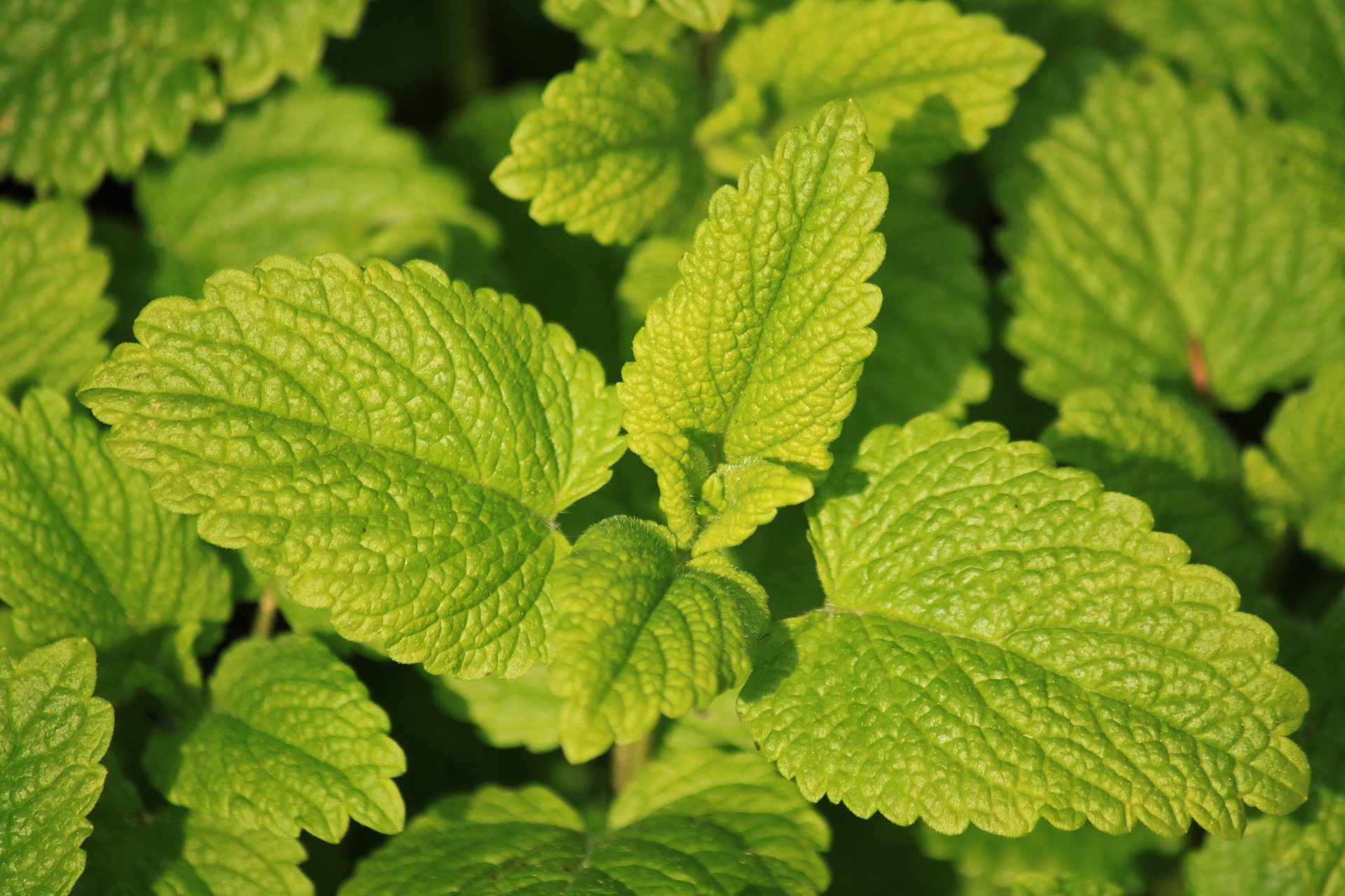 lemon-balm repels mosquitoes