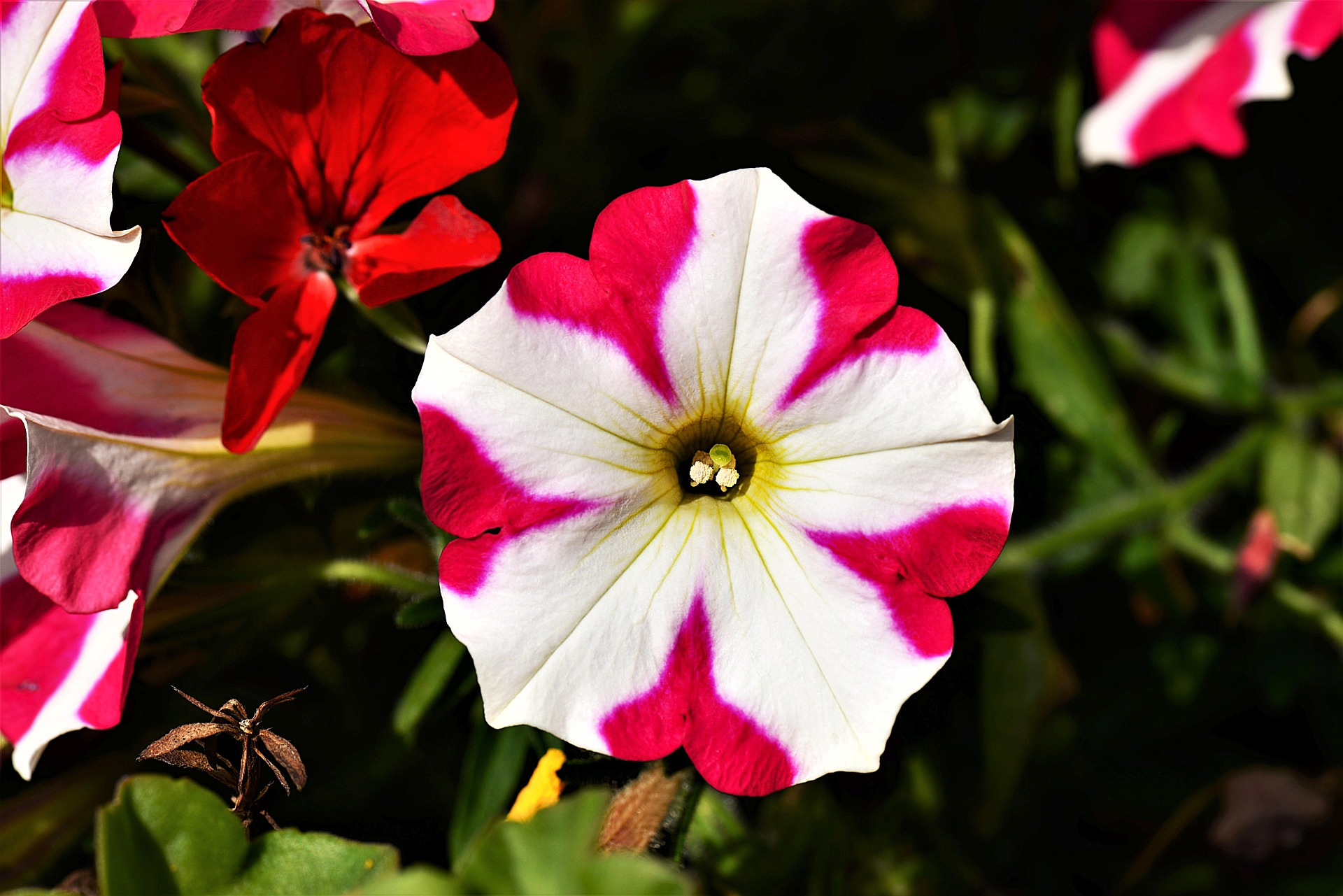 petunia repels mosquitoes