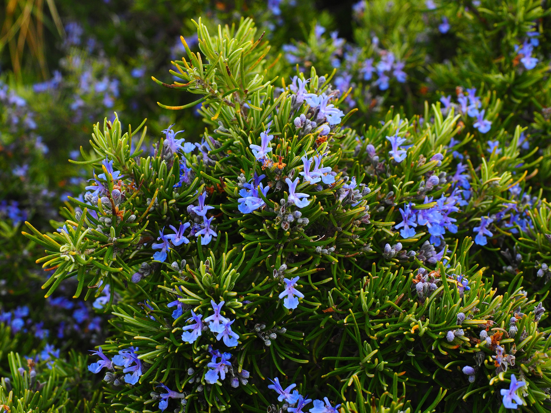 Rosemary repels mosquitoes