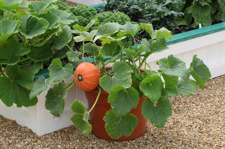 pumpkin growing pot