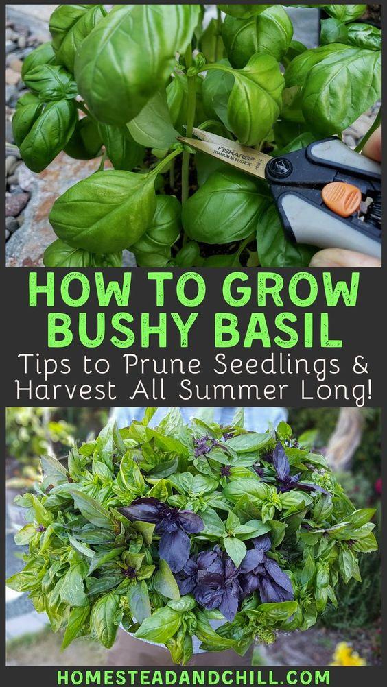 pruning basil