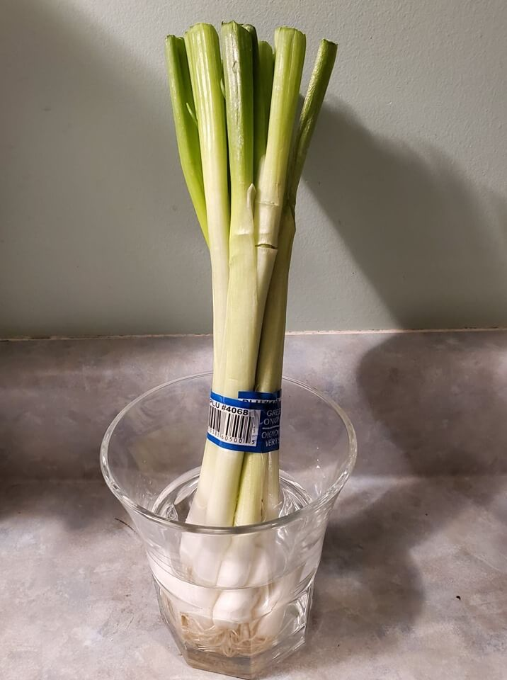 regrow spring onions
