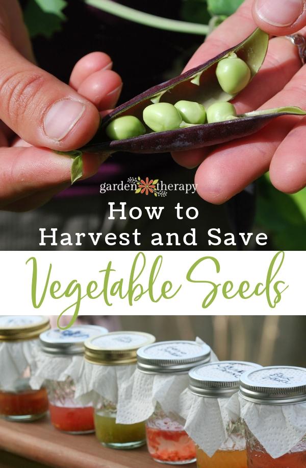 vegetable seed harvesting