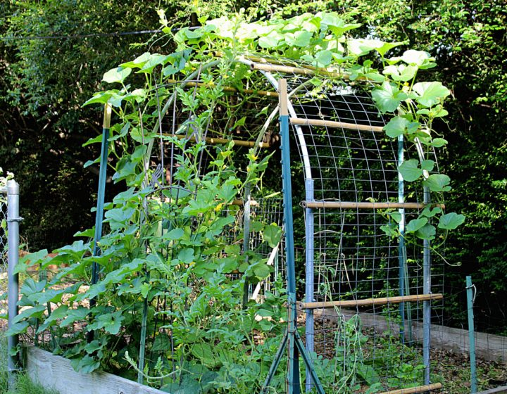 Cantaloupe growing on a vertical trellis  that was a DIY project.