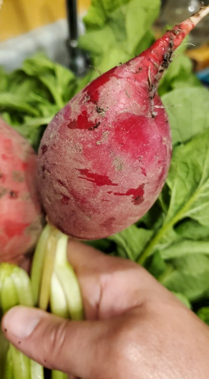 Red radishes just picked from the garden and ready to use.