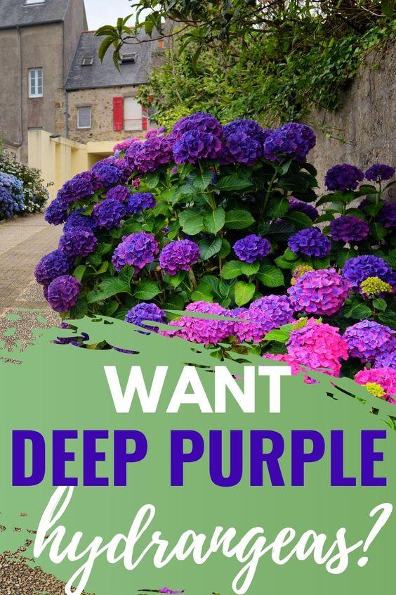 How To Make Deep Purple Hydrangeas